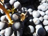 Chili - Osorno - Pinot Noir & Abeilles